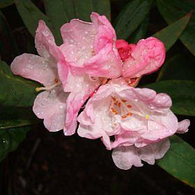 Rhododendron alutaceum var. iodes