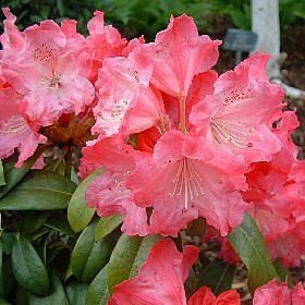 Rhododendron 'Morgenrot (=Morning Red)'