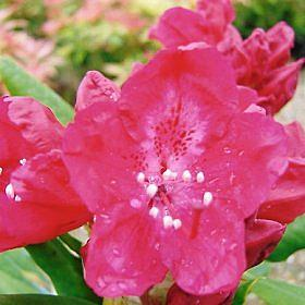 Rhododendron 'Bagshot Ruby'