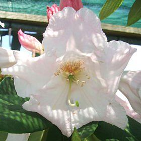 Rhododendron 'Angelo FCC'