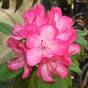 Rhododendron 'Countess of Derby'