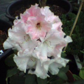 Rhododendron 'Sir Frederick Moore'