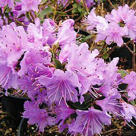 Rhododendron 'Oudijks Favourite'