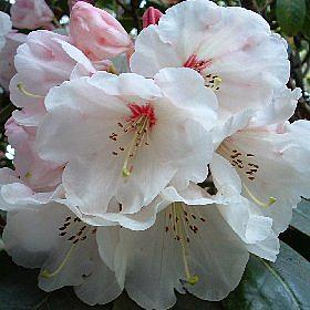 Rhododendron 'China'