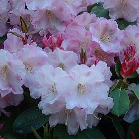 Rhododendron 'Psyche'