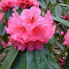 Rhododendron 'Titness Park'