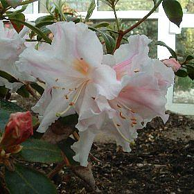 Rhododendron ciliicalyx CW20280