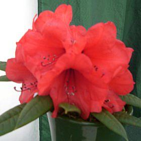 Rhododendron 'Lady Digby'