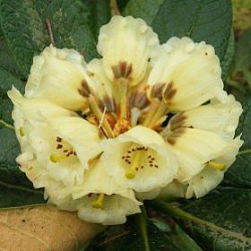 Rhododendron 'Stanley'