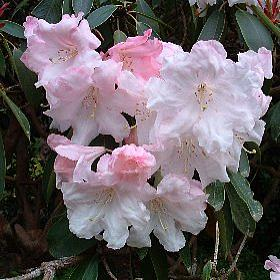 Rhododendron 'Loderi Game Chick- Graft'