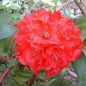 Rhododendron arboreum Red