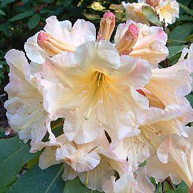 Rhododendron 'Biscuit Box'