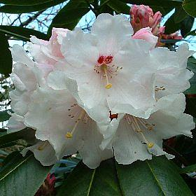 Rhododendron 'Avalanche'
