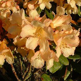 Rhododendron 'Buttermint'