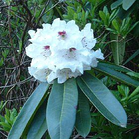 Rhododendron 'Calfort'