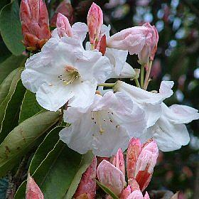 Rhododendron griffithianum South Lodge form seedling
