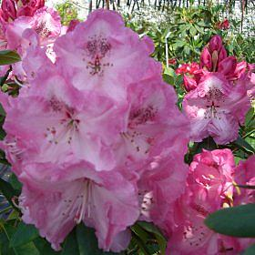 Rhododendron 'Mrs A.C. Kenrick AM'