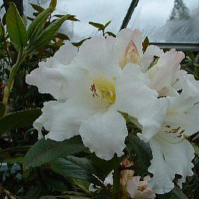 Rhododendron veitchianum Cubittii Group