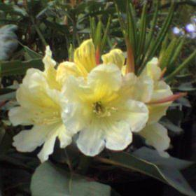Rhododendron 'Duchess of Rothesay'