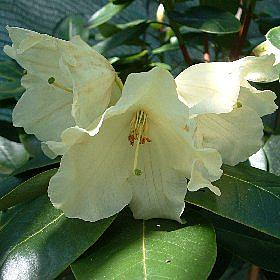 Rhododendron 'Doubloons'