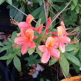 Azalea 'William III'