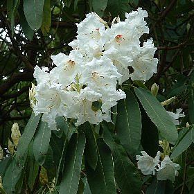 Rhododendron 'Isabella'