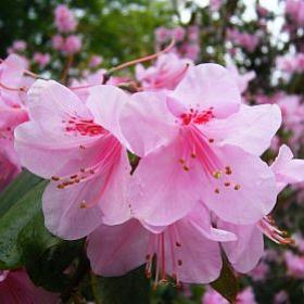 Rhododendron 'Charlotte Foster'