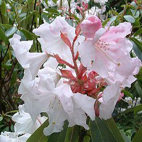Rhododendron 'Loderi White Pearl'