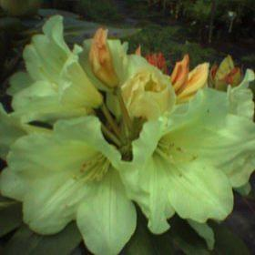 Rhododendron 'Frilled Petticoat'
