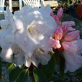 Rhododendron 'Pink Glory'