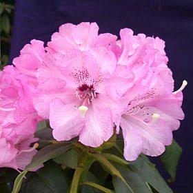 Rhododendron 'Fulbrook'