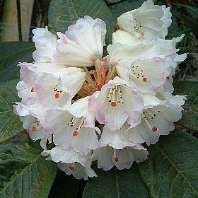 Rhododendron 'Ambrose Bristow'
