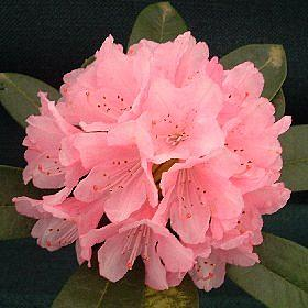Rhododendron 'Aztec'
