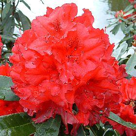 Rhododendron 'G A Sims'