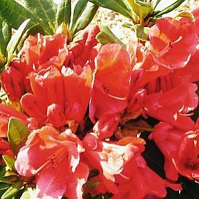 Rhododendron 'Red Velour'