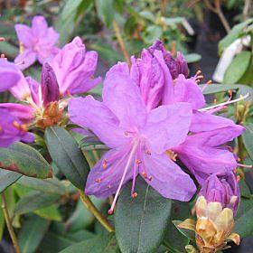 Rhododendron augustinii Purple form