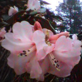 Rhododendron 'May Morn'