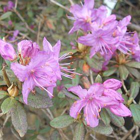 Rhododendron yungningense