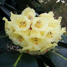 Rhododendron 'Muriel seedling'