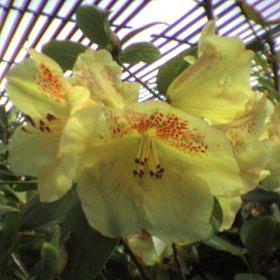 Rhododendron 'Golden Wit'