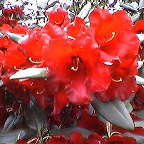 Rhododendron 'Sussex Bonfire'