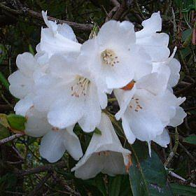 Rhododendron 'White Glory'