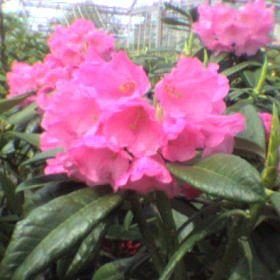 Rhododendron argyrophyllum ssp nankingense Chinese Silver AGM