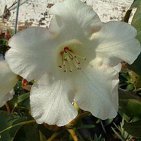 Rhododendron 'Mrs Kingsmill'