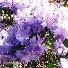 Rhododendron 'Night Sky'