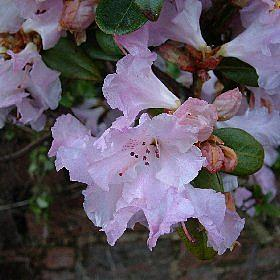 Rhododendron 'Olive'