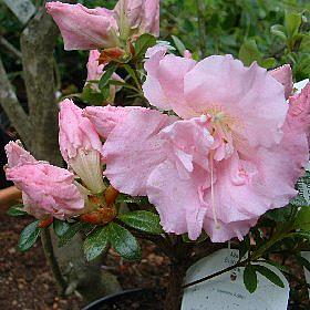 Azalea 'Betty Ann Voss'