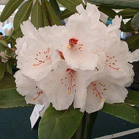 Rhododendron 'Janet'