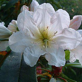 Rhododendron 'July Giant'