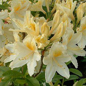 Azalea 'Nancy Buchanan'
